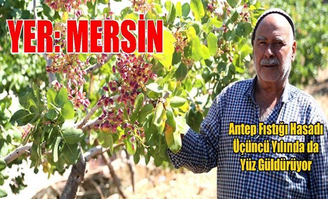 Antep Fıstığı Hasadı Üçüncü Yılında da Yüz Güldürüyor