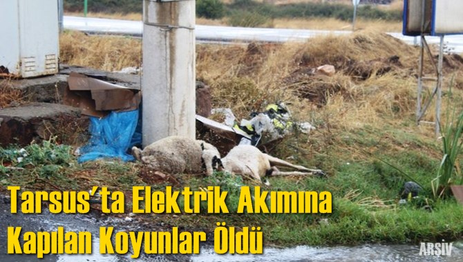 Tarsus'ta Elektrik Akımına Kapılan Koyunlar Öldü