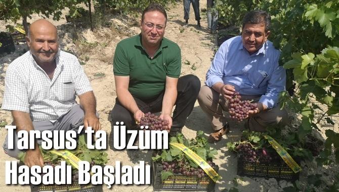 Tarsus'ta Üzüm Hasadı Başladı