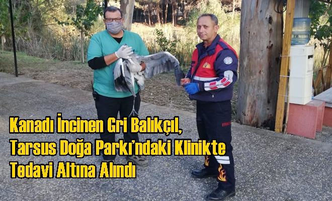 Kanadı İncinen Gri Balıkçıl, Tarsus Doğa Parkı'ndaki Klinikte Tedavi Altına Alındı