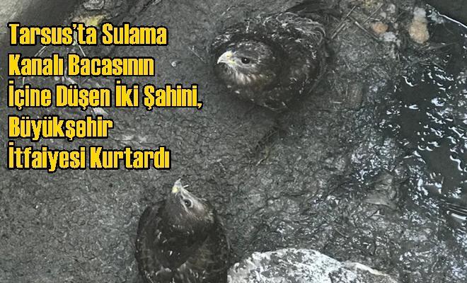 Tarsus'ta Sulama Kanalı Bacasının İçine Düşen İki Şahini, Büyükşehir İtfaiyesi Kurtardı