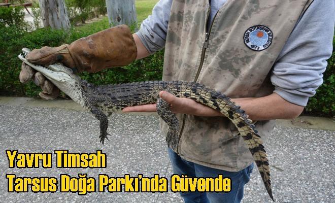 Yavru Timsah Tarsus Doğa Parkı'nda Güvende