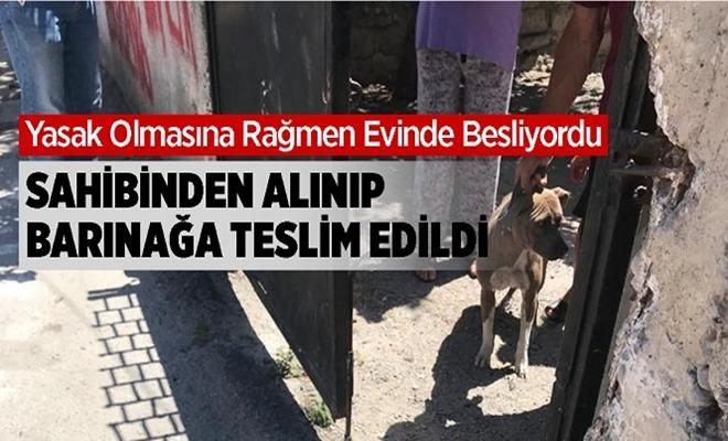 Tarsus'ta Beslenen Pitbull Cinsi Köpek Yetkililerce Sahibinden Alınarak Barınağa Teslim Edildi
