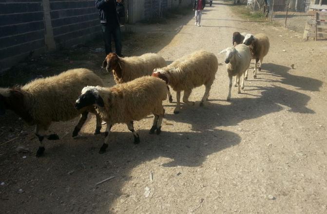 Küçükbaş Hayvanlar Köyün 4 Km Dışında Boş Arazide Bulundu